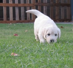 Golden Retriever Puppy For Sale in PATTERSON, CA