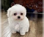 Pretty Maltese Pup