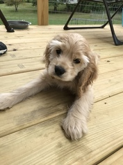 Cocker Spaniel Puppy For Sale in FENTON, MI, USA