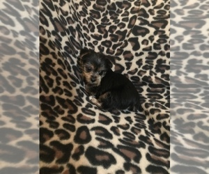 View Ad: Yorkshire Terrier Puppy for Sale near New York