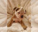 Small #34 English Bulldog