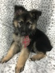German Shepherd Dog Puppy For Sale in CONCORD, NC, USA