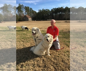 Father of the Great Pyrenees puppies born on 08/10/2020