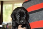AKC Black Lab Puppies