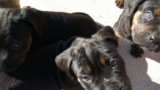 View Ad Cane Corso Rottweiler Mix Puppy For Sale Texas