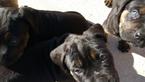 Puppy 1 Cane Corso-Rottweiler Mix