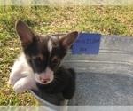 Pembroke Welsh Corgi Puppy For Sale in COMANCHE, TX, USA