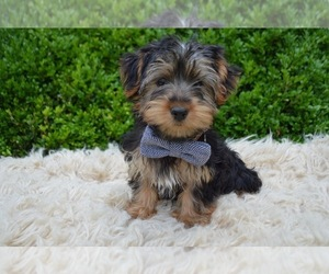 Yorkshire Terrier Dog for Adoption in HONEY BROOK, Pennsylvania USA