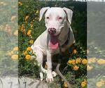 Small Photo #71 American Staffordshire Terrier-Labrador Retriever Mix Puppy For Sale in Lake Forest, CA, USA