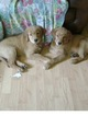 Golden Retriever Puppy For Sale in CRANSTON, Rhode Island,