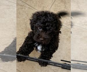 Maltipoo Puppy for sale in BOYNTON BEACH, FL, USA