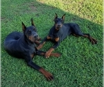 Small #8 Doberman Pinscher