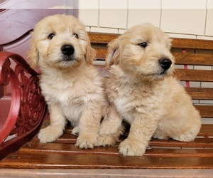 Golden Retriever Puppy for sale in VANCOUVER, WA, USA