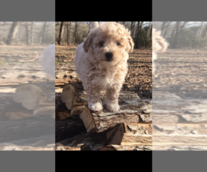 Poochon Dog for Adoption in PRINCETON, Kentucky USA