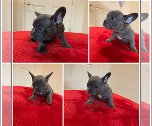 French Bulldog Puppy for Sale in ELK GROVE, California USA