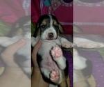 Puppy 7 Beagle