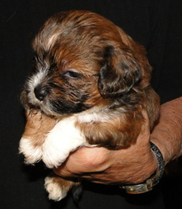 Mal-Shi Puppy For Sale in STATHAM, GA