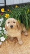 Goldendoodle-Unknown Mix Puppy For Sale in ODON, IN, USA