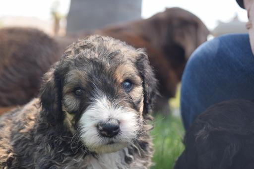 Bernese Mountain Dog Rescue California