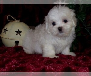 Mal-Shi-Malchi Mix Puppy for sale in HARTFORD, AR, USA