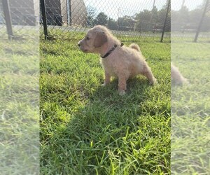 Goldendoodle Puppy for sale in MOUNT VERNON, IL, USA