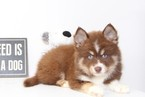 Pomeranian-Siberian Husky Mix Puppy For Sale in NAPLES, FL, USA