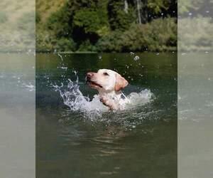 Labrador Retriever Puppy for sale in CRESCENT CITY, CA, USA