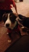 Greater Swiss Mountain Dog Puppy For Sale in CINCINNATI, OH