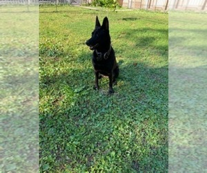 Belgian Malinois Puppy for sale in JACKSONVILLE, FL, USA