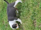American Bully Puppy For Sale in SALISBURY, NC, USA