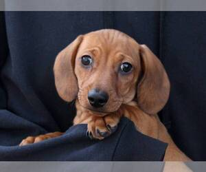 Dachshund Puppy for Sale in AUSTELL, Georgia USA