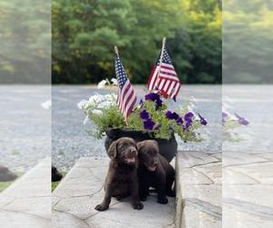 Labrador Retriever Puppy for sale in ROCKY MOUNT, VA, USA