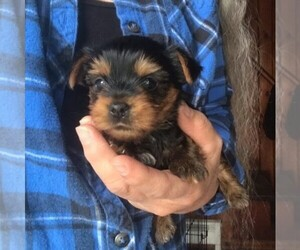 Yorkshire Terrier Puppy for sale in E STROUDSBURG, PA, USA