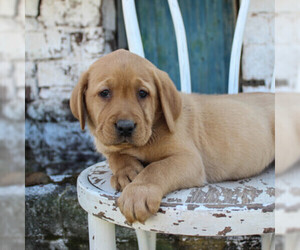Labrador Retriever Puppy for sale in MOHNTON, PA, USA