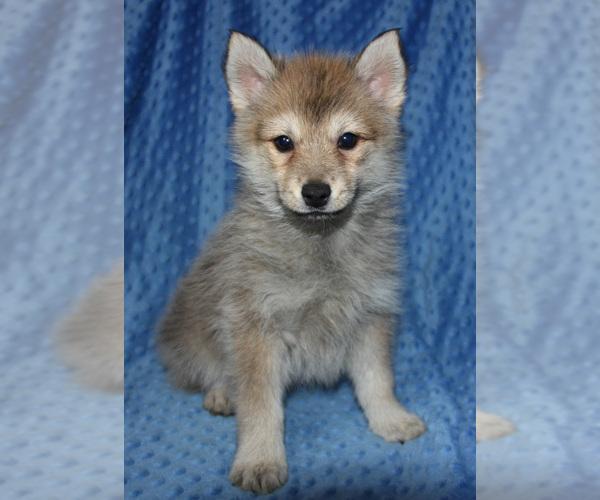 Medium Photo #8 Pomsky Puppy For Sale in DENTON, TX, USA