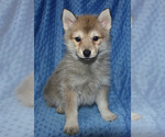 Small Photo #8 Pomsky Puppy For Sale in DENTON, TX, USA