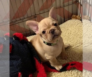 French Bulldog Puppy for sale in QUANAH, TX, USA