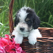 Poogle Puppy For Sale in GAP, PA, USA