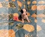 Puppy 3 Border Collie