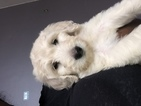 Goldendoodle Puppy For Sale in COLUMBIA, MD, USA