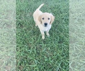 Golden Retriever Puppy for Sale in FREDONIA, Kansas USA