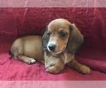 Dachshund Female Puppy Granby Ct