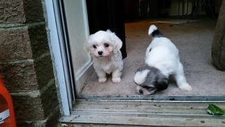 Shih Tzu Puppy For Sale in SILVER SPRING, MD
