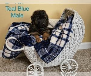German Shepherd Dog Puppy for sale in OSWEGO, IL, USA