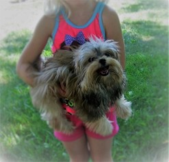 Morkie Puppy For Sale in FAIRFIELD, OH, USA