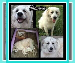 Mother of the Great Pyrenees puppies born on 10/06/2020