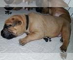 Puppy 11 Dogue de Bordeaux-Masti-Bull Mix