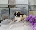 Puppy 5 Poodle (Miniature)-Saint Bernard Mix