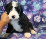 Small #6 Bernedoodle