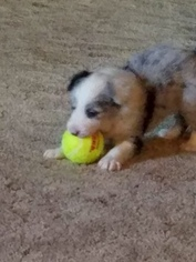 Border Collie Puppy For Sale in CLINTON, MO